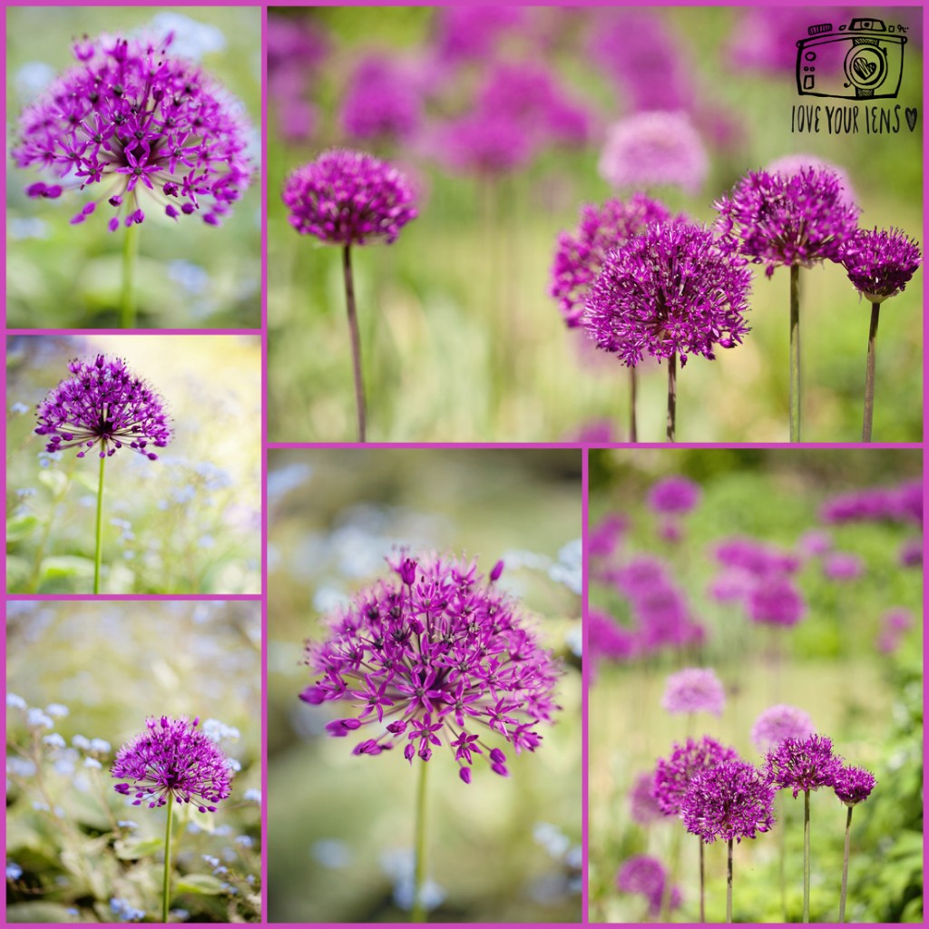 flower-photography-for=beginners-allium