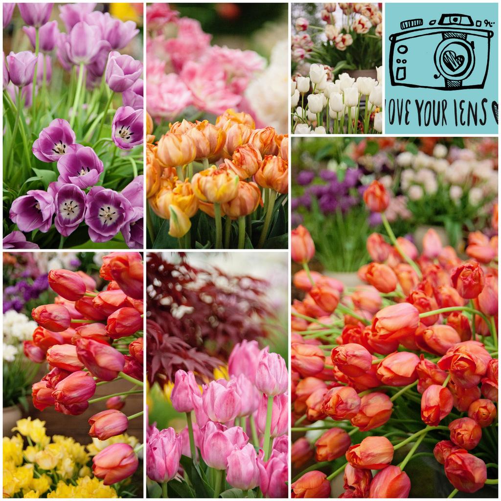 Chelsea-Flower-Show-Tulips