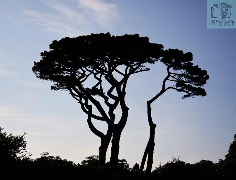 Cornish-elm-tree-Helford-Passage
