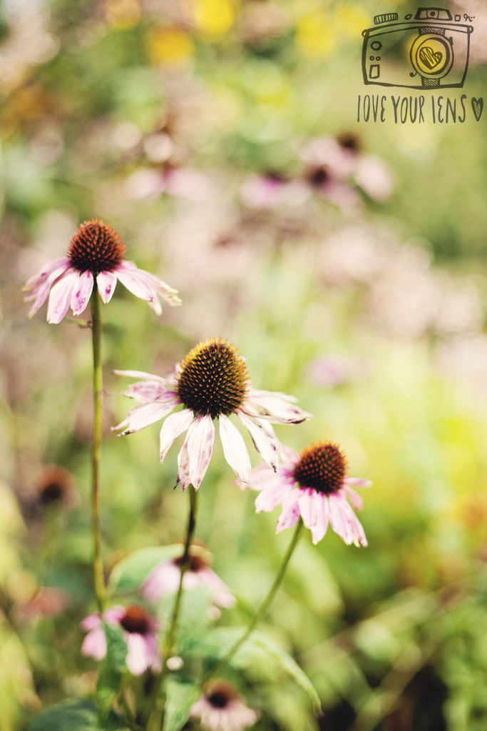 Echinacea_love_your_lens