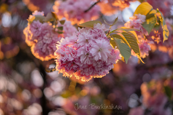 HOW-TO-PHOTOGRAPH-BLOSSOM